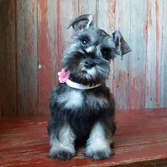 See this Instagram photo by @the_schnauzer_house • 282 likes
