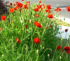 Plant Poppies Now For Memorial Day Bloom