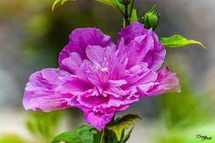 Teresa Fndz Photography: My purple hibiscus
