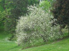 Carolina silverbell (Halesia carolinana)