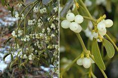 toxic plants and shrubs Le Gui, Medicine Wheel, Medicinal Herbs, Shrubs, Dupont, Horses, Fruit, Plants, Poisonous Plants
