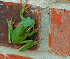 Red Brick Green Frog by Jeff Clow