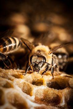 Honey bee| pinned by Western Sage and KB Honey (aka Kidd Bros)