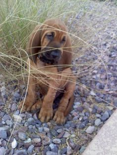 Henry at 2 months old...Bloodhound puppies are so cute.