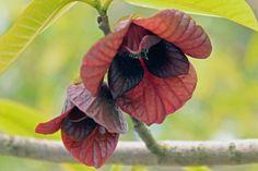 Asimina triloba (L.) Dunal - Pawpaw - BG Utrecht-009