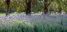 ✣ Rowella Lavender house perfumery, Tasmania ✣  Photograph © Ellen Vaman www.facebook.com/ellen.vaman1 #EllenVaman #Photography # RowellaLavenderHouse #Tasmania
