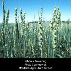 Wheat - flowering