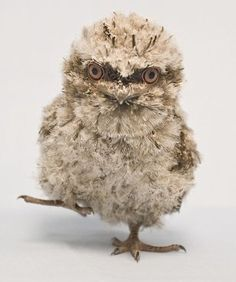 ZooBorns: cute exotic baby animals born at zoos around the world. Here's a tawny frogmouth chick - this was born at SeaWorld, Orlando Baby Owls, Cute Baby Animals, Beautiful Birds, Animals Beautiful, Seaworld Orlando, Newborn Animals, Photo Animaliere, Tier Fotos, Bird Feathers