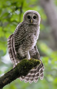The Pose by a Barred Owlet