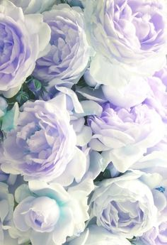 Beautiful lavender peonies