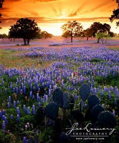 Hope the Texas Hill Country gets some rain this year so the bluebonnets can come back like this again. | Repinned by @divanyoung