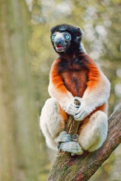 The golden-crowned sifaka or Tattersall's sifaka (Propithecus tattersalli) is a medium-sized lemur characterized by mostly white fur, prominent furry ears and a golden-orange crown. It is one of the smallest sifakas (genus Propithecus), weighing around 3.5 kg (7.7 lb) and measuring approximately 90 cm (35 in) from head to tail. Like all sifakas, it is a vertical clinger and leaper, and its diet includes mostly seeds and leaves.