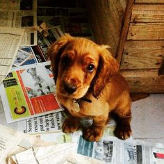 Everybody meet Bruce! @dickieharris93 #puppy #small #cute #terror #destruction #gundog #cocker #spaniel by getjackfarming