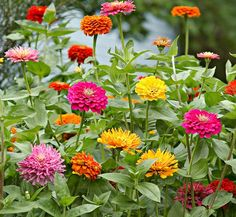 Rich soil, full sun, and careful watering—that's all it takes to grow dazzling zinnias that bloom all summer. #lowes #garden