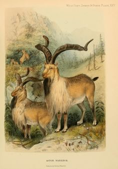 Astor markhor. Wild oxen, sheep & goats of all lands, living and extinct  London,R. Ward,1898.  Biodiversitylibrary. Biodivlibrary. BHL. Biodiversity Heritage Library