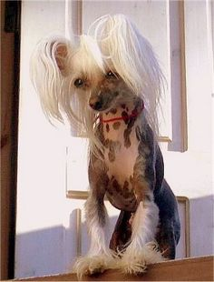 chinese crested dog | Chinese Crested Puppies For Sale | Globerove