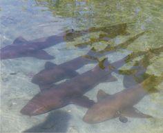 Union Island, Grenadines - Nurse sharks very close to the dock