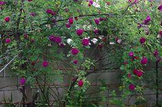 'Gipsy Boy' (1909) a Bourbon/Hybrid Multiflora rose