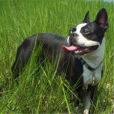 Boston Terrier, smiling in the sun