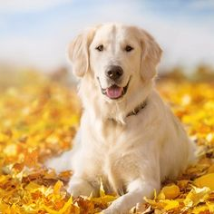 Autumn portrait of golden retriever junior lying in yellow leaves