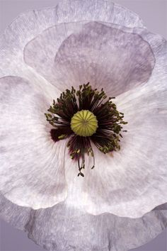 ✿ Pastel flowers ✿ Pale Poppy by Brian Hasiam #flowers #pastel