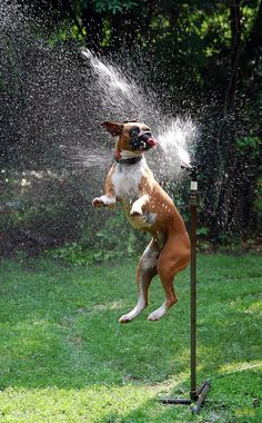 boxer dog playing with water