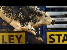 TOP BULL: Air Time bucks off Guilherme Marchi for 45.5 points (PBR) - Published on Feb 28, 2016 Air Time earns a 45.5 point bull score vs Guilherme Marchi in Round 2 of the 2016 PBR BFTS Choctaw Casino and Resort PBR Iron Cowboy powered by Kawasaki in Arlington, TX.
