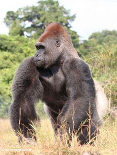 Gabon wildlife pictures - Google Search