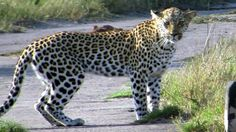 Fantastic sighting of a beautiful female leopard on Tembe Elephant Park! Leopards are quick to disappear if threatened, so such a lengthy and clear sighting is both rare and incredibly special. Although this female is very alert and jumps at any sudden sounds, she appears very relaxed while being filmed from the monitoring vehicle.