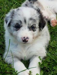 Border Collie Puppy For Sale In Berwick Pa Adn 44410 On Puppyfinder Com Gender Male Age 7 Wee Border Collie Puppies Collie Puppies For Sale Collie Puppies
