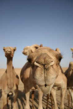 Those camels were like cows, very curious. Shot in Israel at a beduins' camp. Animal Noses, My Animal, Camel Animal, Zebras, Beautiful Creatures, Animals Beautiful, Camelus, Funny Animals, Cute Animals