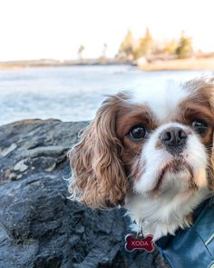 K O D A  Credit by ->sullykoda... Cavalier King Charles, Cute Animals, Spaniels, Camilla, Clarity, Dogs, Stuff To Buy, Kit, Pretty Animals