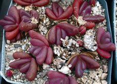 Glottiphyllum Pygmaeum (5 SEEDS)Very Rare Succulent Korn Samen Semi 種子 씨앗 Graine • CAD $4.01 - PicClick CA