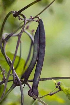 French Bean Blauhilde Climbing (organic)