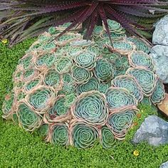 Echeveria Imbricata Blue Rose Echeveria Hens and Chicks image 0 Cacti And Succulents, Planting Succulents, Planting Flowers, Echeveria Imbricata, New Roots, Hens And Chicks, Live Plants, Autumn Leaves, Beautiful Flowers