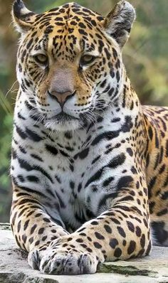You, dear cat, are impressive… You, dear cat, are impressive… Nature Animals, Animals And Pets, Funny Animals, Cute Animals, Wild Animals, Baby Animals, Beautiful Cats, Animals Beautiful, Animal Jaguar