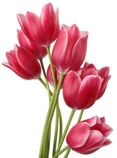Tulipanes :)                                                                                                                                                                                 Mais
