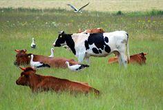 Litvánia • Panevėžys County Naujamiesčio seniūnija Storks, Farm Animals, Gabriel, Cow, Birds, Holidays, Places, Butterflies, Paintings