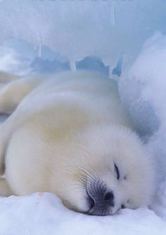 White Fluff-ball! A young Harp Seal catches some z's http://en.wikipedia.org/wiki/Harp_seal