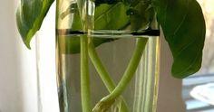 Smart evighetsodling: Köp en kruka basilika och få massor Celery, Food And Drink, Garden, Tips, Advice, Lawn And Garden, Gardens, Outdoor, Home Landscaping