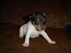 What a cutie!  Toy Fox Terrier