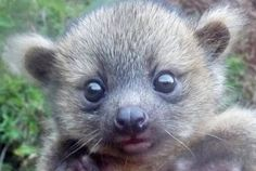 Baby Olinguito found in Colombia.