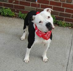 TO BE DESTROYED - 12/04/13 Brooklyn Center My name is JACKIE. My Animal ID # is A0986137. I am a female white and black am pit bull ter mix. The shelter thinks I am about 6 YEARS old. www.facebook.com/photo.php?fbid=718236364855912&set=a.611290788883804.1073741851.152876678058553&type=1