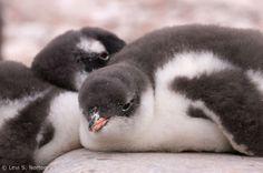 Gentoo penguin chicks at Cuverville Island, Antarctica. Credit: © Levi S. Norton