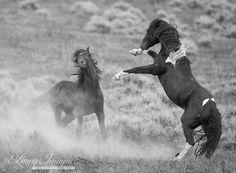 Stallions Challenge  Fine Art Wild Horse Photograph by Carol Walker www.LivingImagesCJW.com