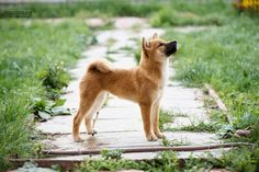 #шиба #шибаину #шиба_ину #сибаину #сиба_ину #сиба #собака #щенок #siba #sibadog #sibainu #sibapup #siba_inu #pup #puppy owner: @saya_fleur