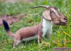 Goat Stoat. | 28 Unsettling Animal Mashups That Should Probably Never Have Happened  - lol