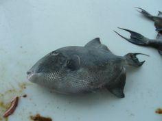 trigger fish  on bottom fishing trip