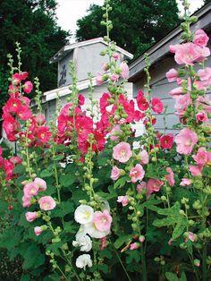 Hollyhock | Bluestone Perennials