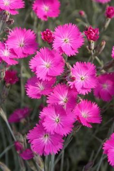 Border Carnation Dianthus gratianopolitanus Firewitch from Growing Colors Garden Trees, Garden Plants, Super Saver, New Growth, Propagation, Early Spring, Shade Garden, Carnations, Gardens
